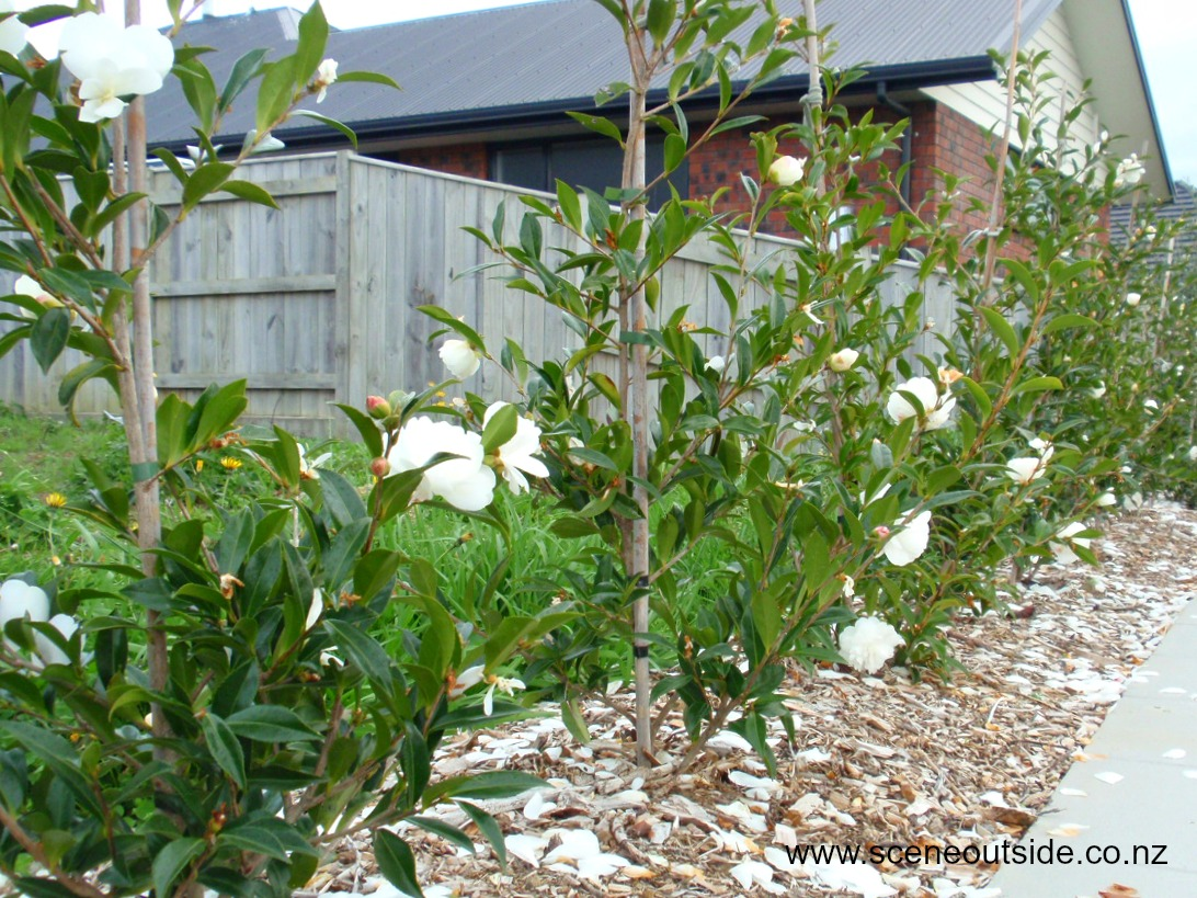About garden design camellia 39 early pearly 39 for Planting a garden
